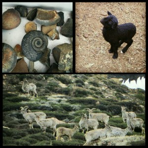 Fossilized stones, sheep, blue sheep