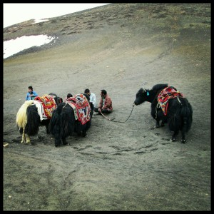 Yaks to help us during our trek
