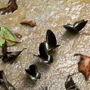 Butterflies were widely found throughout the forest
